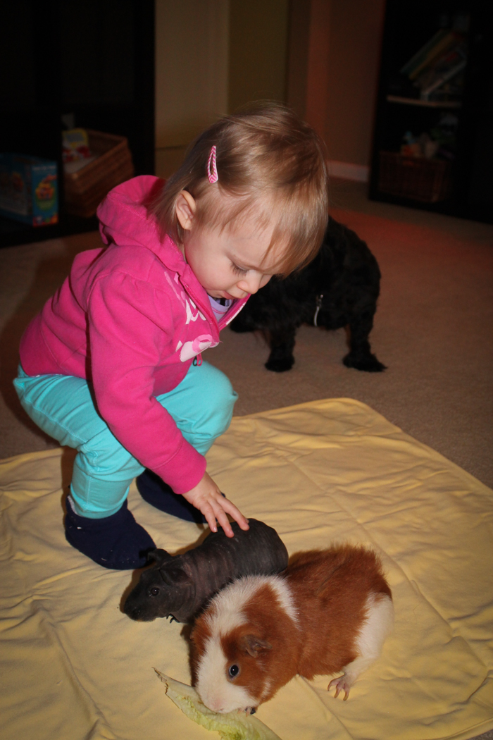 hairless guinea pig and teddy bear guinea pig