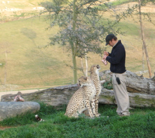 How lucky is this guy? In with the cheetahs!! How awesome that would be.
