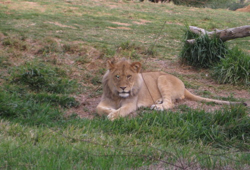 Isn't this lion adorable? He's only a year old!