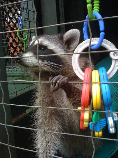 raccoons-002.jpg