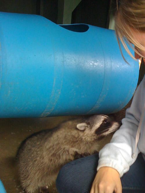 raccoons-003.jpg
